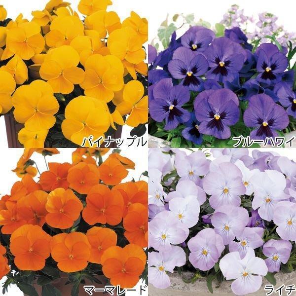 花苗 パンジー よく咲くスミレR Aセット 4種12株