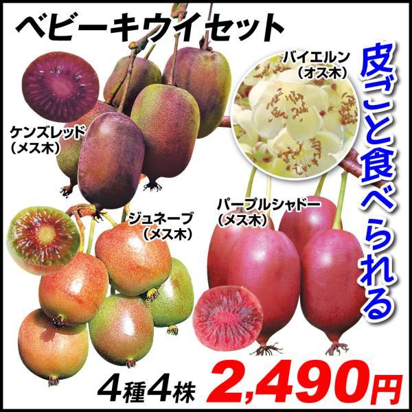 鉢植え向き果樹苗 ベビーキウイセット 4種4株 / ミニキウイ 山菜苗 有用植物苗 家庭菜園