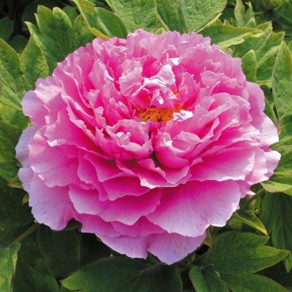 牡丹 苗 魯荷紅 1株 / ボタン ピオーニー 牡丹の苗 牡丹の花 花木