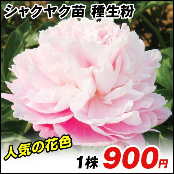 芍薬 苗 種生粉 1株 / シャクヤク 花の苗 花木 ピオニー シャクヤクの花