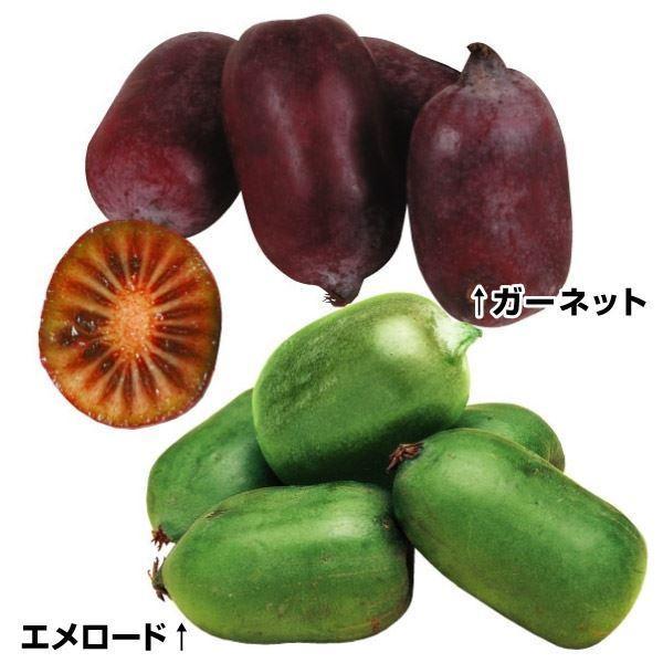 サルナシの苗木 サルナシセット 2種2株 / サルナシ 苗 サルナシの木 果樹苗 国華園