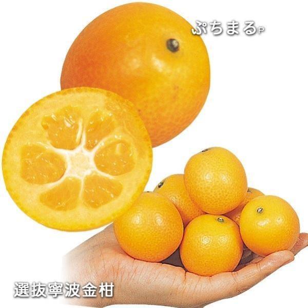 金柑 苗木 キンカンセット 2種2株 / きんかんの苗 金柑の木柑橘 果樹苗 国華園