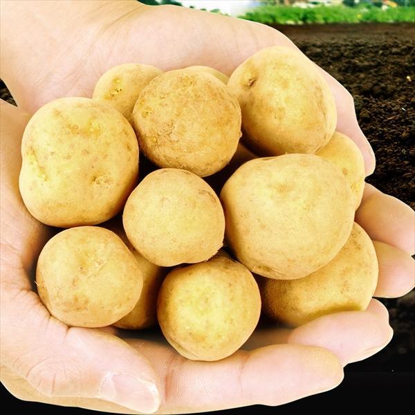 じゃがいも 青森産 新メークイン【小玉】 10kg 送料無料 食品