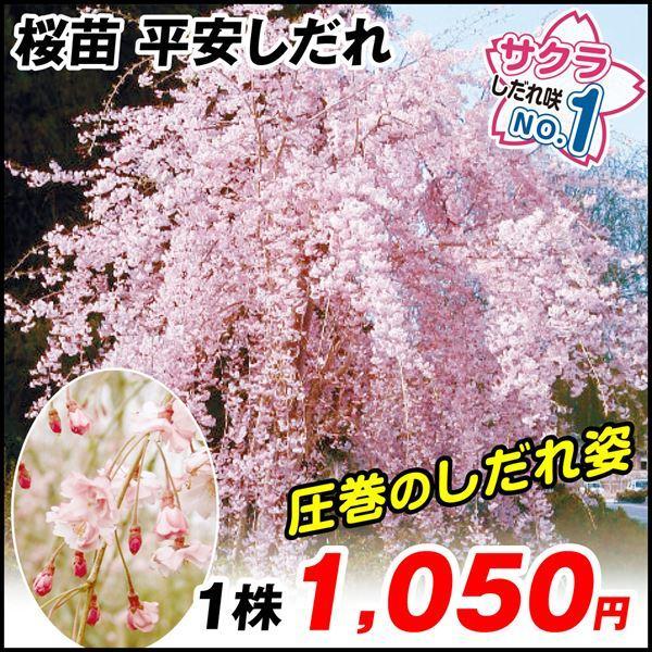 桜 平安しだれ 1株 / さくら サクラ 苗|kokkaen