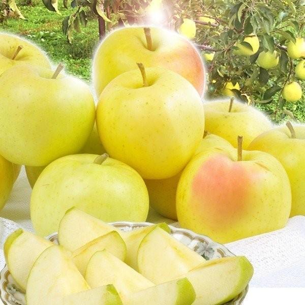 りんご 青森産 とき 訳あり(10kg)林檎 ご家庭用 数量限定 黄金りんご トキ 希少品種 シャキシャキ 国華園|kokkaen|13