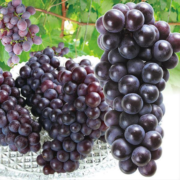 ぶどう 青森産 スチューベン 5kg 1箱 送料無料 食品 国華園