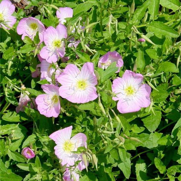 ヒルザキツキミソウ 昼咲き月見草 昼咲きつきみそう 9センチポット 3号