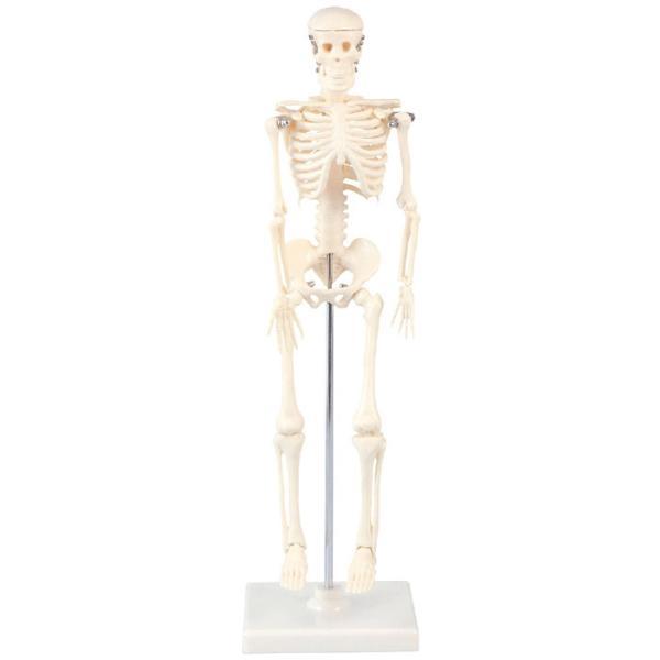 人体骨格模型 42cm 人間 骨 人骨 模型 標本 体 身体 しくみ 理科 科学 生物学 研究 学習 参考 授業 ドクロ ガイコツ フィギュア アーテック 9976|konan