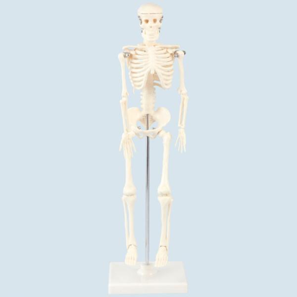 人体骨格模型 42cm 人間 骨 人骨 模型 標本 体 身体 しくみ 理科 科学 生物学 研究 学習 参考 授業 ドクロ ガイコツ フィギュア アーテック 9976|konan|02