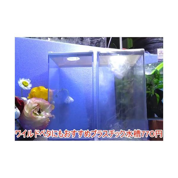 ワイルドベタにもおすすめプラスチック水槽1個