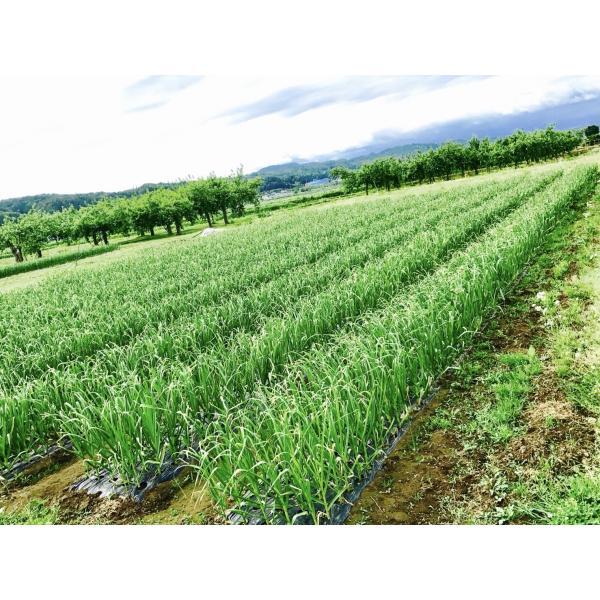 会津坂下町産にんにく:白玉王(1kg)|kuriki-farm|02
