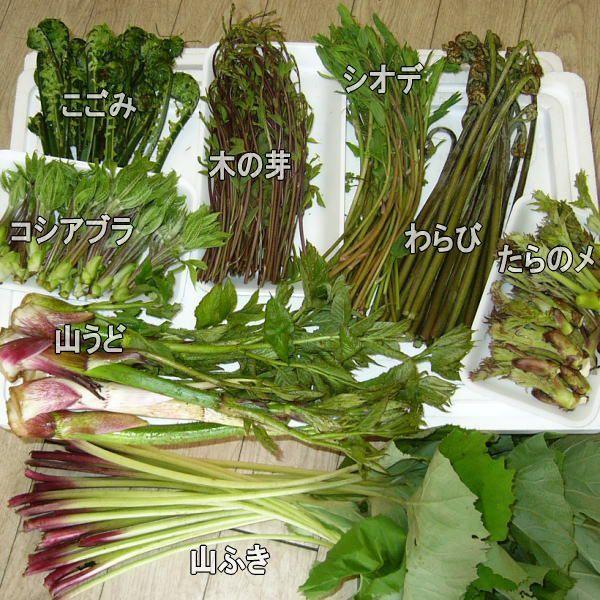 山菜 木の芽 アケビノメ 新芽 きのめ アケビの芽 130g前後 4月〜5/20頃78015|kuwaharasyoten|05
