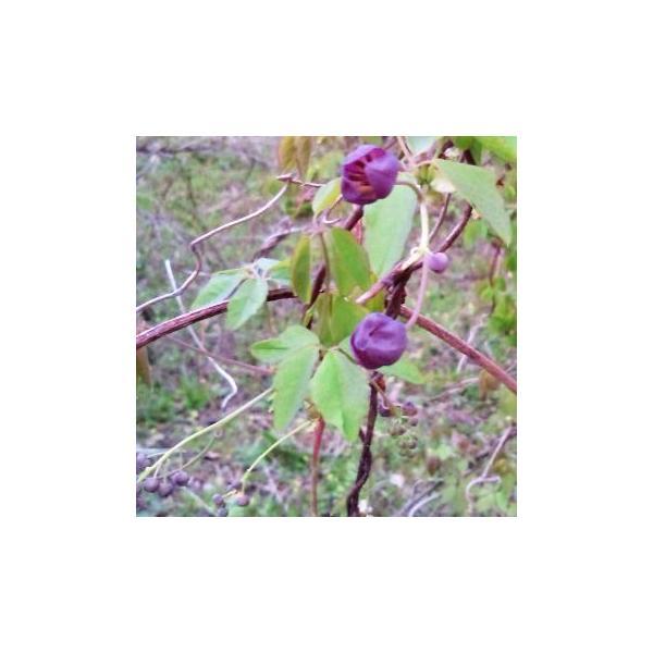 山菜 木の芽 アケビノメ 新芽 きのめ アケビの芽 130g前後 4月〜5/20頃78015|kuwaharasyoten|06