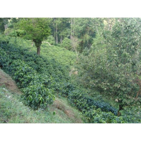 コーヒー豆 100g Cup of Excellence  グアテマラ リオ・アリバ 農園|kyoto-coffee|03