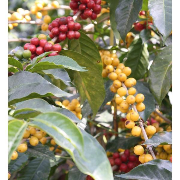 コーヒー豆 250g Cup of Excellence グアテマラ リオ・アリバ 農園|kyoto-coffee|02