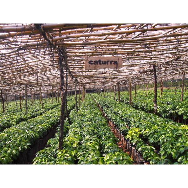 コーヒー生豆 100g グアテマラ サンホルヘ農園  マラカトゥーラ種|kyoto-coffee|02