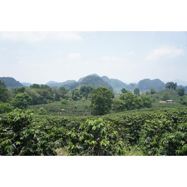 コーヒー豆 100g ホンジュラス エルサウセ チェリーやグレープのような風味|kyoto-coffee|04