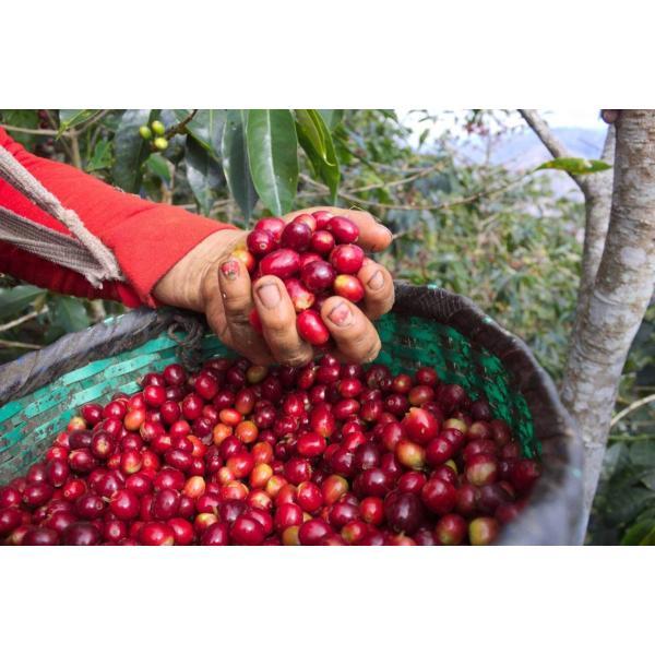 【今月の2割増量コーヒー豆】コーヒー豆 250g    ペルー  エルセドロ kyoto-coffee 02