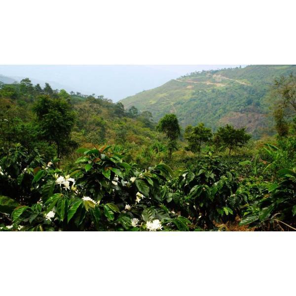【今月の2割増量コーヒー豆】コーヒー豆 250g    ペルー  エルセドロ kyoto-coffee 04