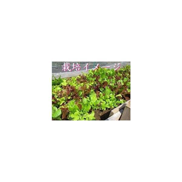 栽培クラブ ガーデンレタスミックス(5種類)栽培セット Mサイズ 種 野菜 ベジタブル サラダ|lalalady-shop|04