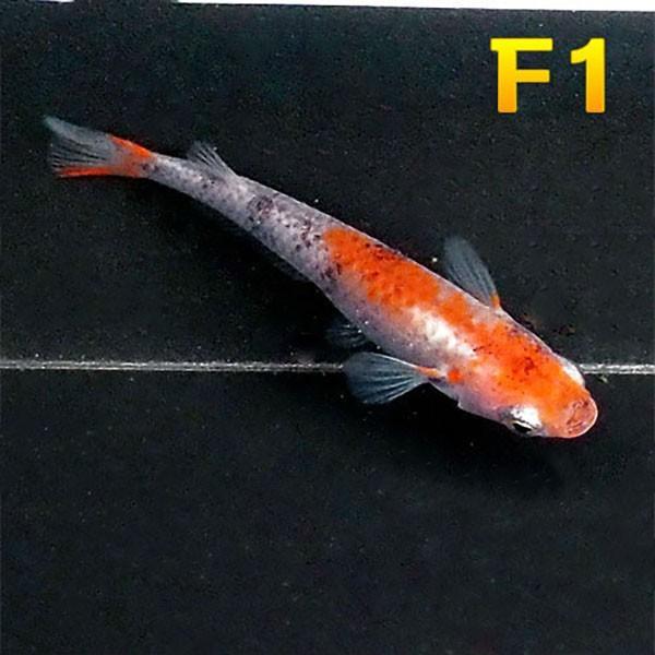 メダカ紀州三色めだか(F1)5匹セット三色錦透明鱗F1選別落ちメダカ淡水魚