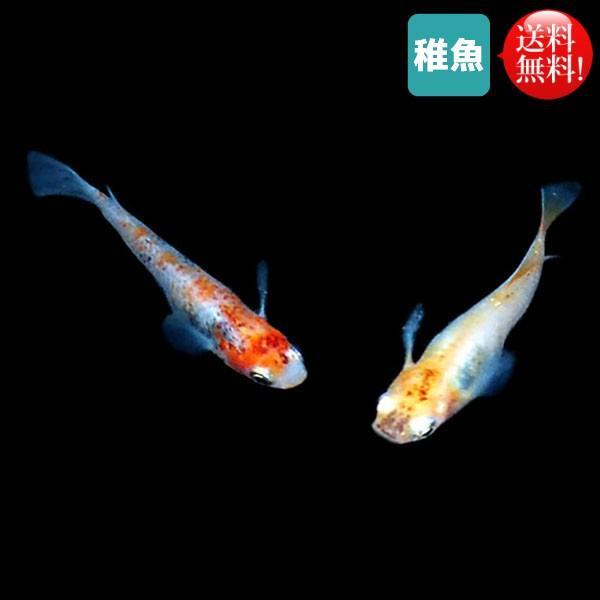 |メダカ めだか 三色セット 未選別 稚魚SS〜Sサイズ 20匹セット 送料無料(北海道、沖縄県、東…