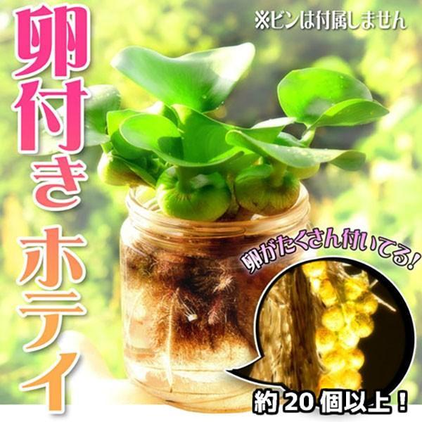 水草 ホテイアオイ めだかの卵付き(約20個以上) 1株セット ホテイ草 水草 浮き草 たまご 卵 メダカ アクアリウム