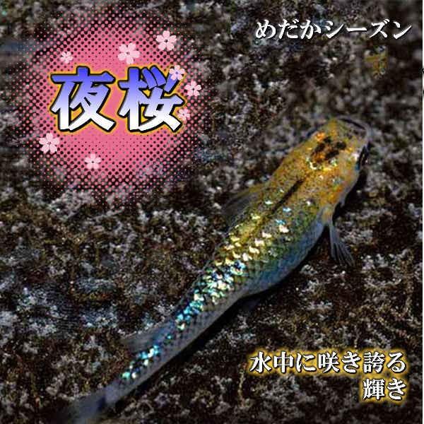メダカ夜桜めだか未選別稚魚(SS〜Sサイズ)10匹セットオーロラブラック黄ラメヨザクラ黒ラメメダカ淡水魚