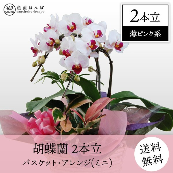 胡蝶蘭2本立・パケットアレンジ(薄ピンク系)