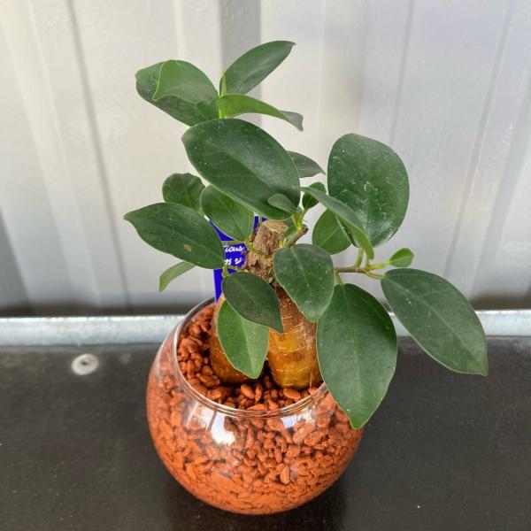 おまかせ ミニ観葉植物 ガラスボールS セラミス植 1個 【観葉植物/ハイドロカルチャー】