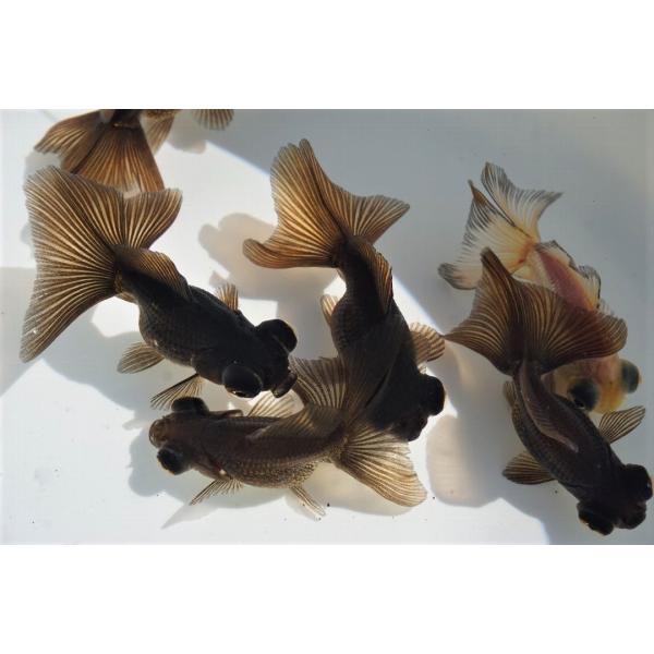 国産 金魚 蝶尾 チョービ 2匹セット(全長約6cm)弥富産 八木氏 作