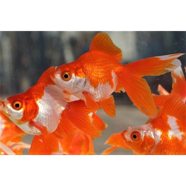 |国産金魚 三才琉金 サラサ 2匹セット(全長約9cm)飯田・棚田氏 選りなし