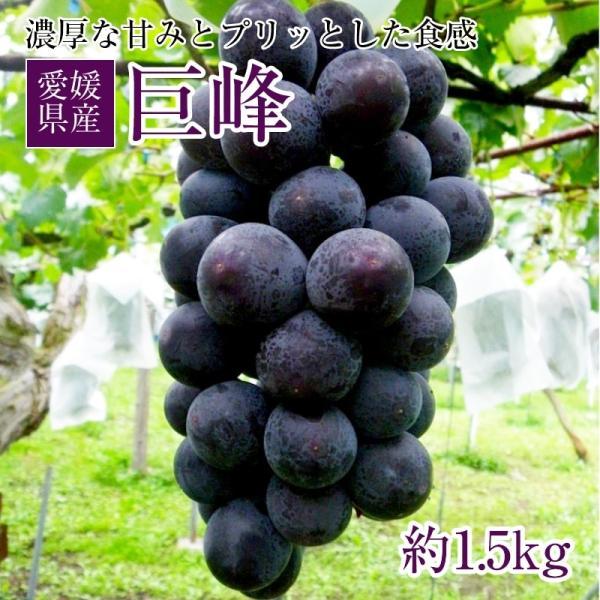 地元特産ぶどう 巨峰 1.5kg 愛媛県産 クール代込