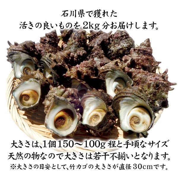 [石川県産]素潜り漁の活さざえ:中サイズ20個 詰合せ (1個100〜130g)|maruya|02