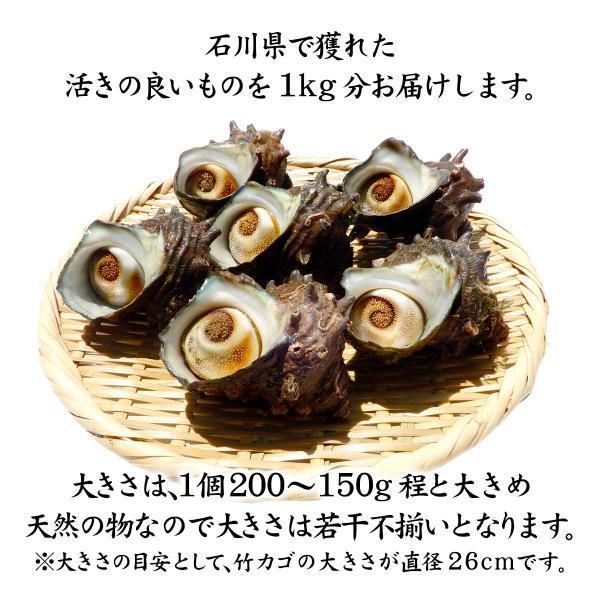 [石川県産]素潜り漁の活さざえ:大きめ 10個  詰合せ(1個130〜150g)|maruya|02