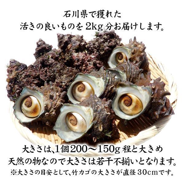 [石川県産]素潜り漁の活さざえ:大きめ 20個  詰合せ(1個130〜150g)|maruya|02