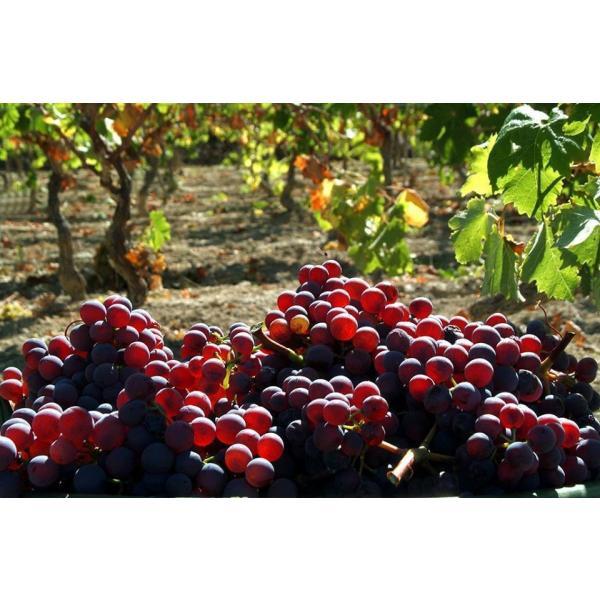 カルパンテ カンノナウ ディ サルデーニャ  カンノナウ 100% 辛口 イタリア サルデーニャ 赤ワイン 750ml|marwell|03