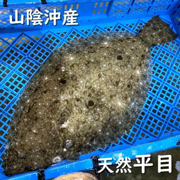 活・天然ヒラメ(生) 1尾 約1.0-1.2kg前後 (浜坂産) 活かしてますので、発送直前に〆てお届け致します。(平目・ひらめ)