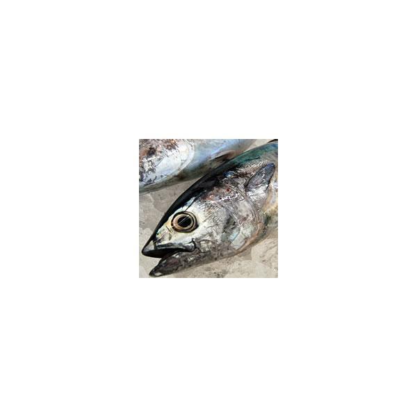 (本日大特価)ヨコワ(本マグロの子)(生)1尾 約1.0-1.2kg (浜坂産) (本まぐろ、クロマグロ、黒まぐろ)