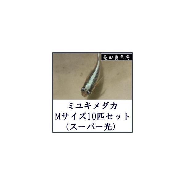 |ミユキメダカ Mサイズ10匹セット(スーパー光)