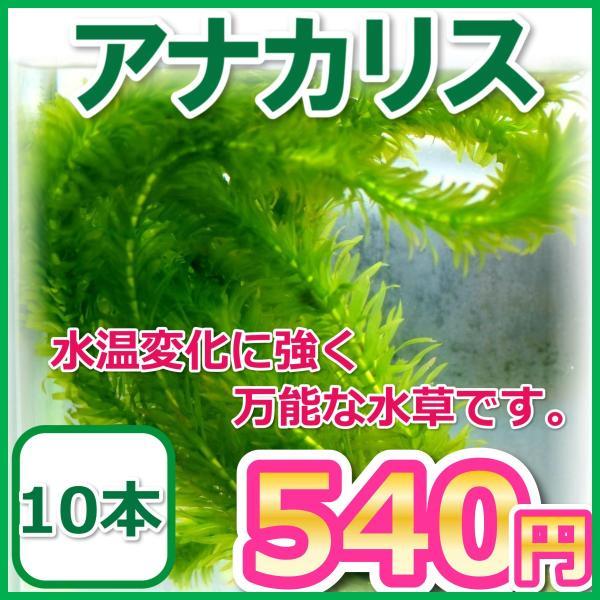 アナカリス/オオカナダモ10本水草金魚藻