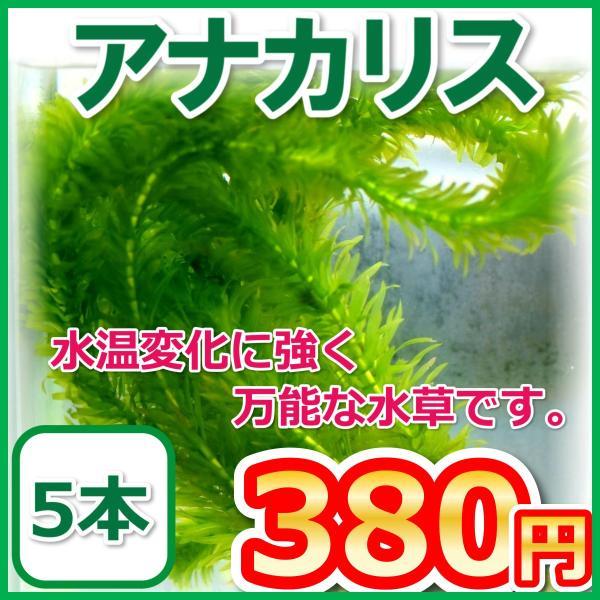 |アナカリス/オオカナダモ 5本 水草 金魚藻
