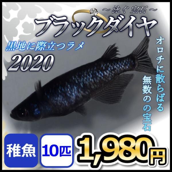 メダカ/ブラックダイヤメダカ2020稚魚10匹/オロチラメオロチめだか