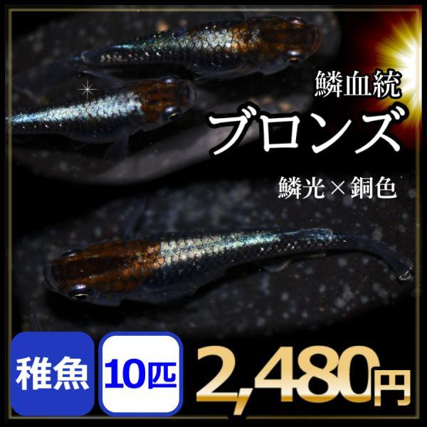 メダカ/ブロンズ稚魚10匹/ブロンズメダカ鱗光メダカ