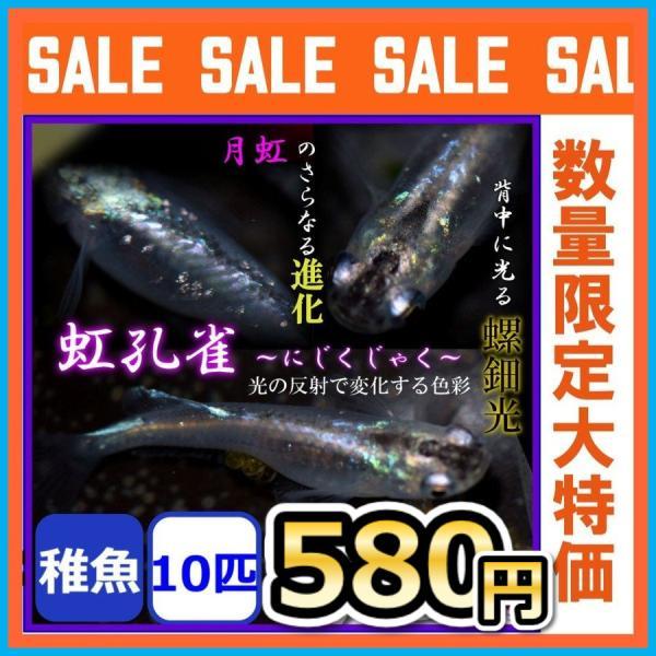 |メダカ/孔雀 螺鈿光月虹めだか 稚魚10匹