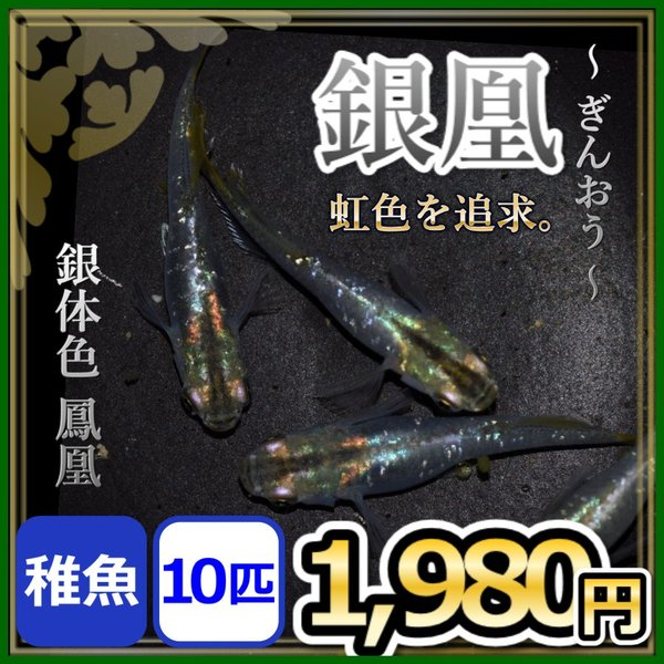 メダカ/銀凰めだか稚魚10匹/鳳凰メダカ