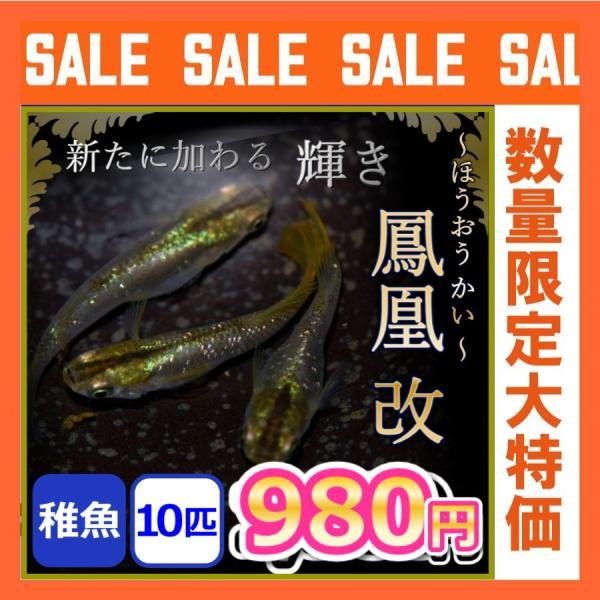  メダカ/鳳凰改めだか 稚魚 10匹 鳳凰メダカ  鳳凰改メダカ