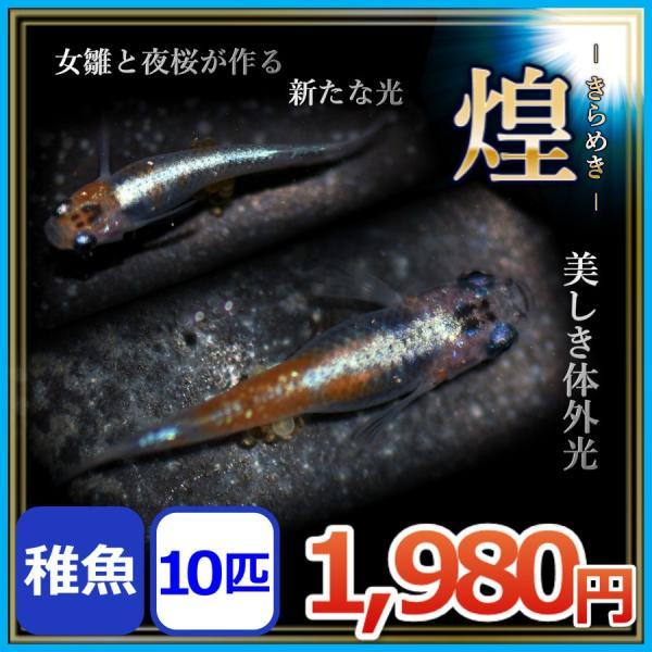 メダカ/煌きらめき稚魚10匹/煌メダカきらめきめだか