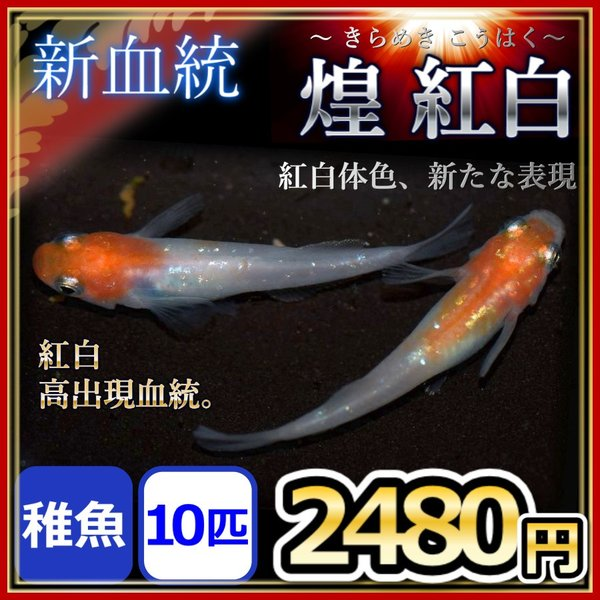 メダカ/ 煌 紅白ヒカリメダカ  稚魚10匹/きらめき 紅白めだか
