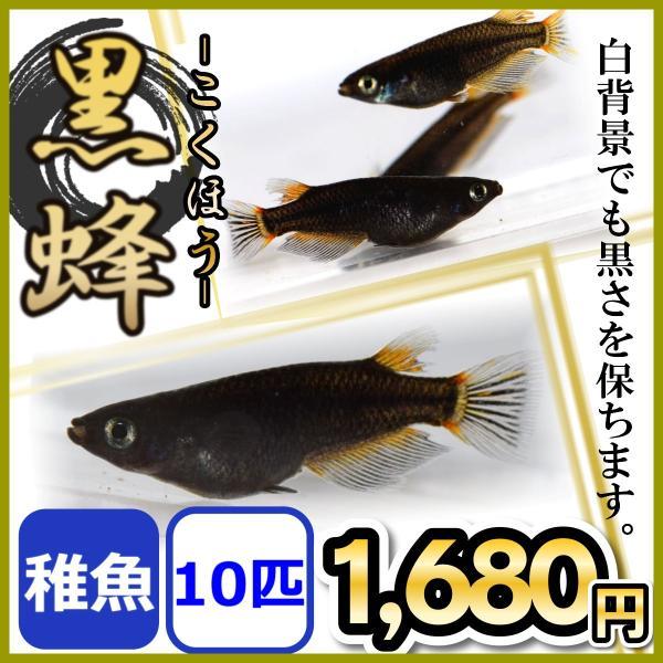 メダカ/黒蜂めだか黒透明鱗稚魚10匹